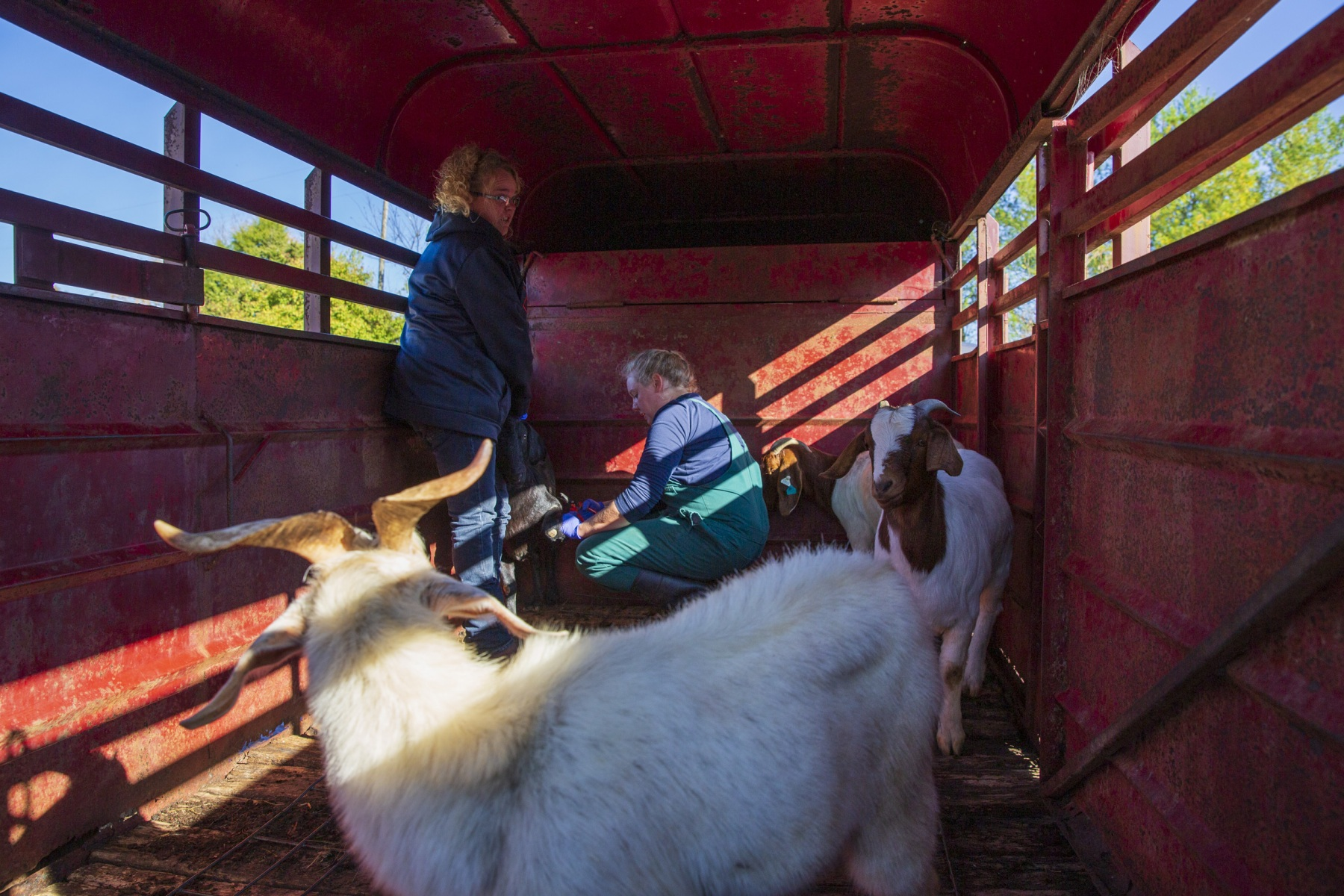 Emily and veterinary technician Constance Wheeler cut out foot rot on three goats in a trailer behind the Harrison Veterinary Clinic on November 1, 2019.. The goat in the foreground was later put down at its owners' farm because of an infection in its leg.